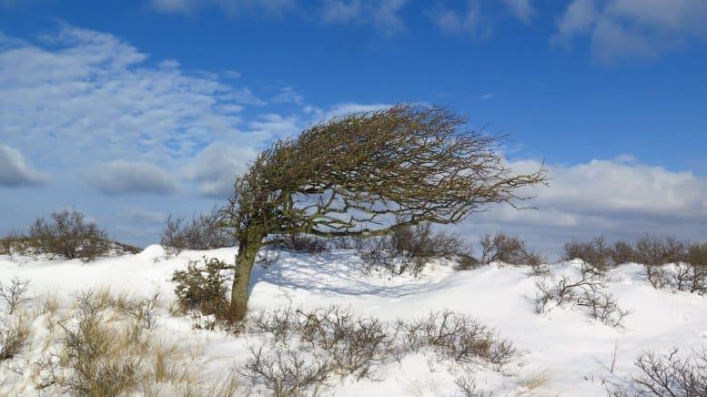 Een door de wind misvormde boom. Foto: Daniël Siepman