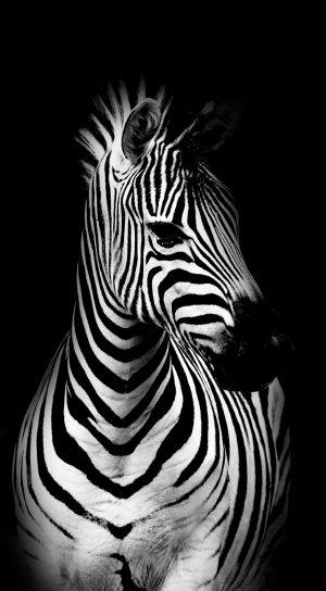 Zebra: zwart-wit